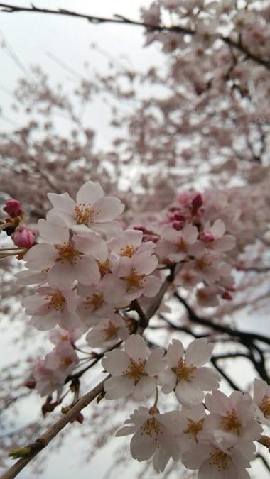 2015.3.31Ahm sakura
