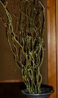 もとの枝、雲龍柳