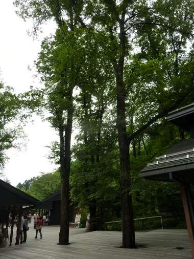 写真1:楡の大木