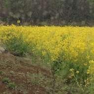 畑・菜の花