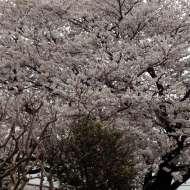 お向かいの家の桜